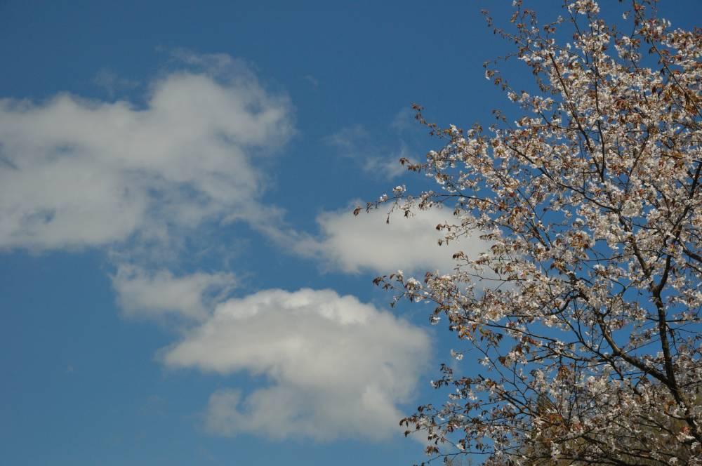 山桜と青空_b0074098_20472150.jpg