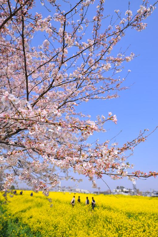 桜 2009   権現堂堤_d0119505_7294996.jpg