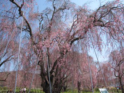 しだれ桜_c0165824_21285759.jpg