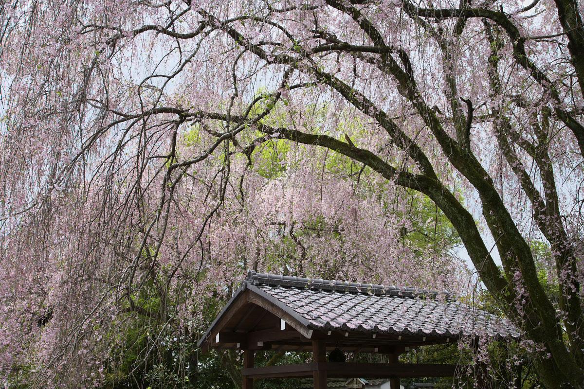 養源院 枝垂れ桜 3_f0021869_21563621.jpg