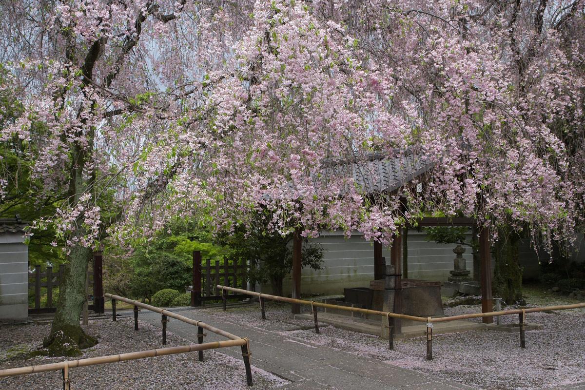 養源院 枝垂れ桜 3_f0021869_21584132.jpg