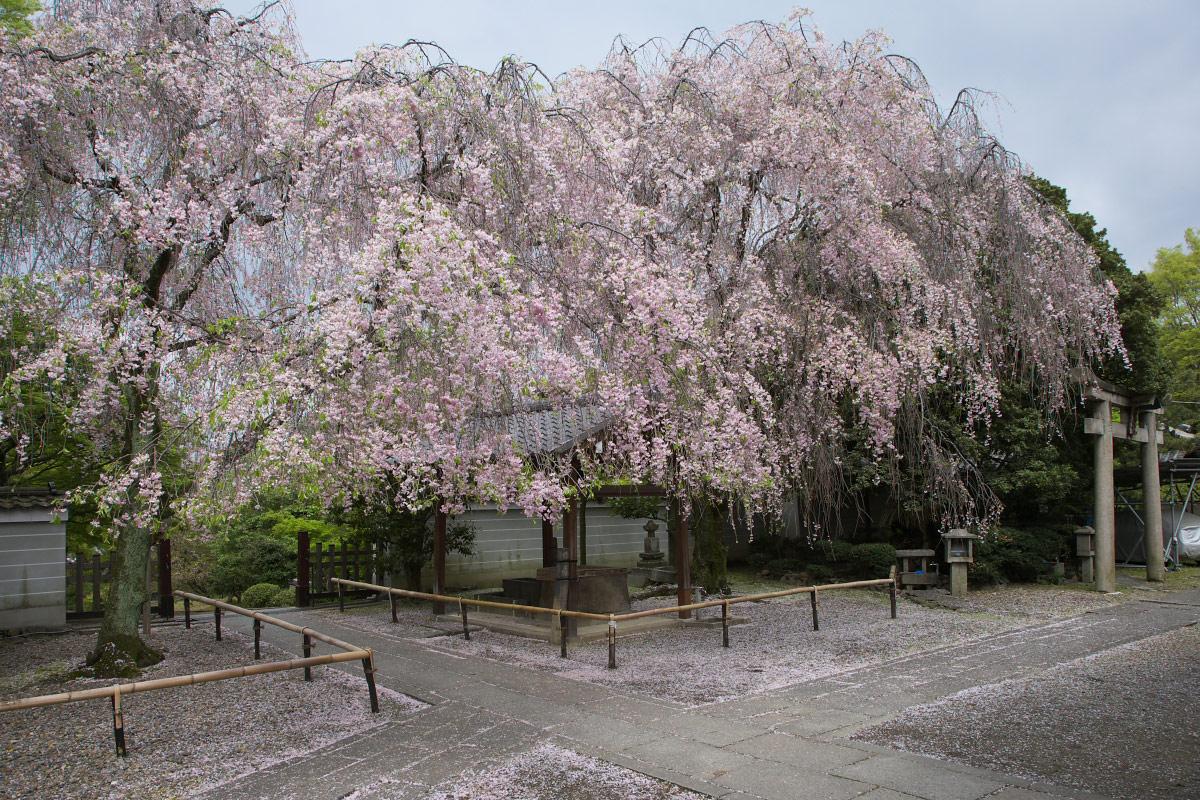 養源院 枝垂れ桜 3_f0021869_2203021.jpg