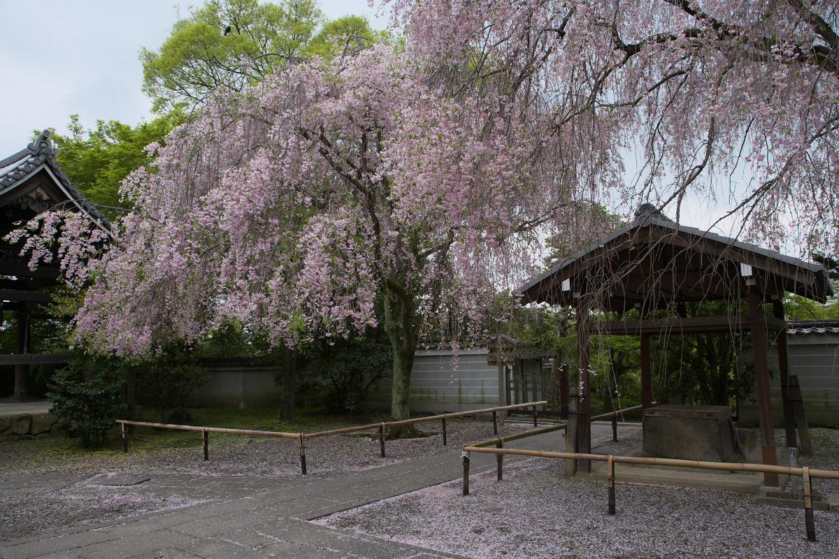 養源院 枝垂れ桜 3_f0021869_2205338.jpg