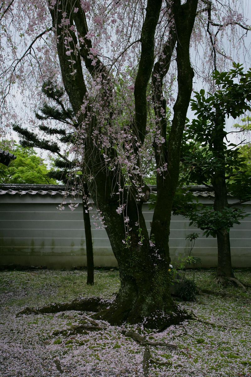 養源院 枝垂れ桜 3_f0021869_2244668.jpg