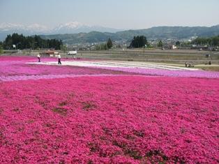 とってもキレイな芝桜・・・_e0142373_16564966.jpg