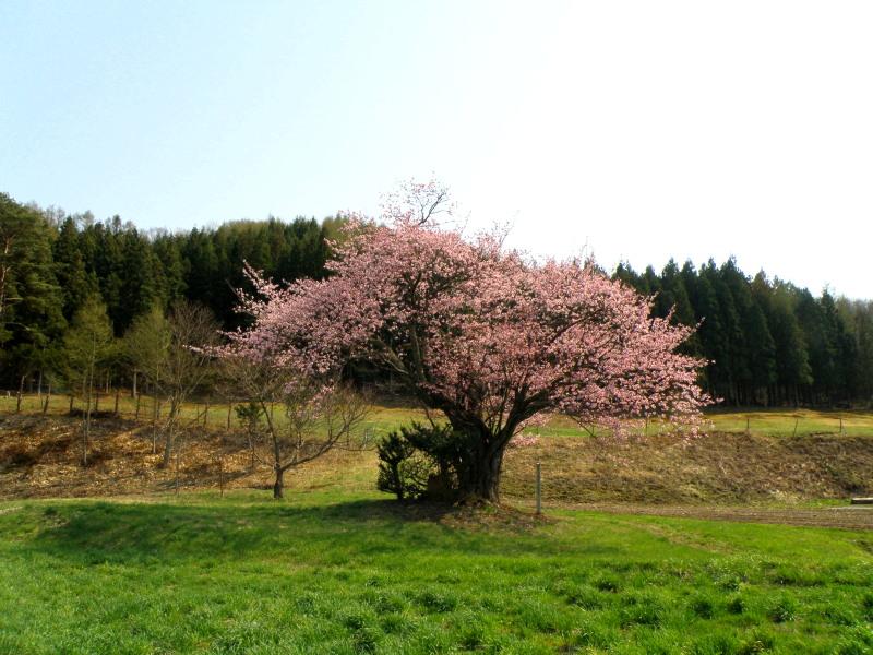 遠野の桜_f0075075_16315830.jpg