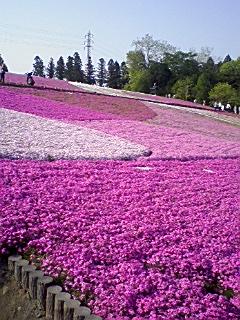 秩父の芝桜_e0013178_1726358.jpg