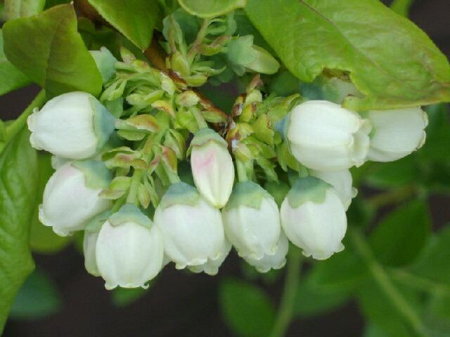 ボーナスの花の品種同定のサイン_f0018078_15383510.jpg