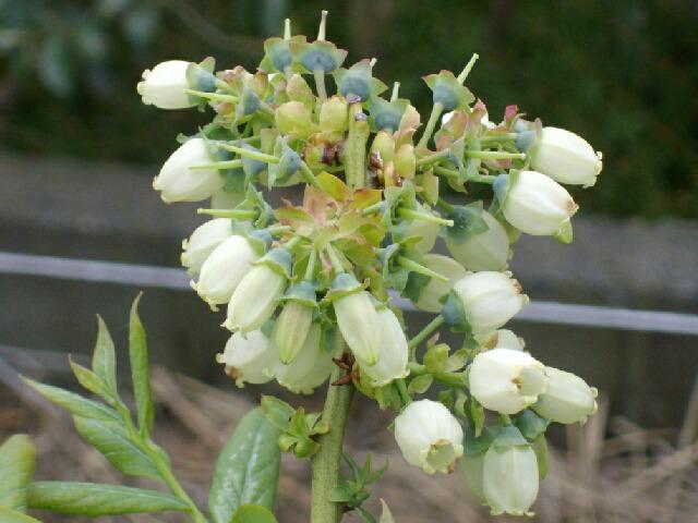 ボーナスの花の品種同定のサイン_f0018078_15434234.jpg