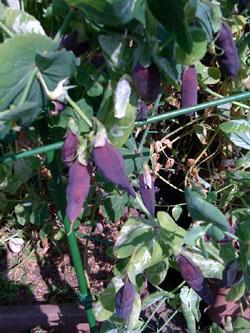 豆の季節2_f0061394_15533678.jpg