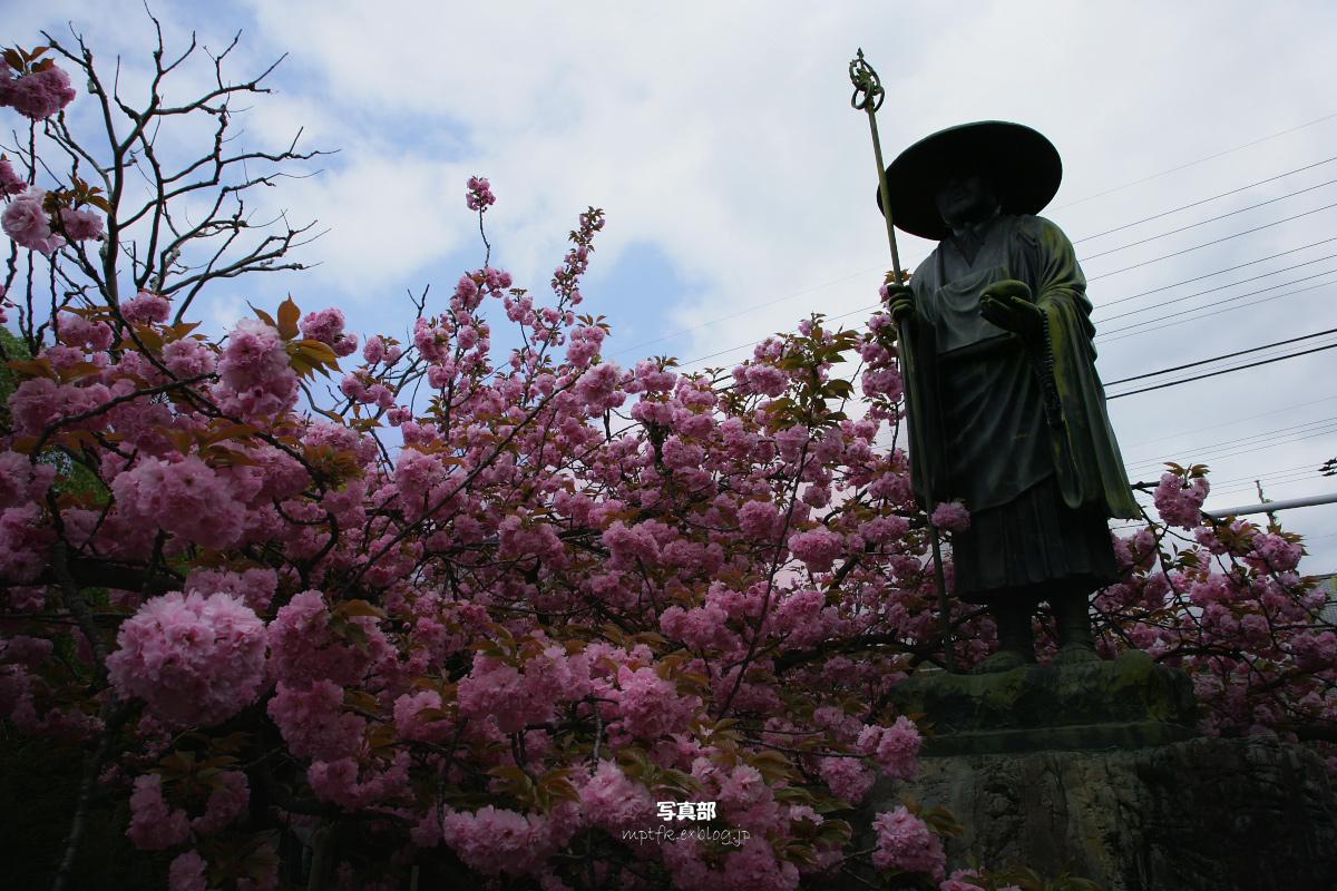 上品蓮臺寺<じょうぼんれんだいじ> 桜  1_f0021869_2382314.jpg