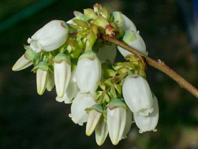 ボーナスの花の品種同定のサイン_f0018078_6205991.jpg