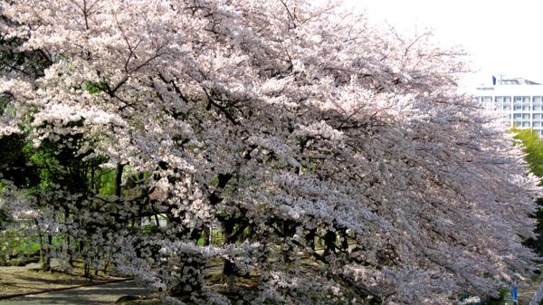 桜Ⅵ_b0083801_19144941.jpg