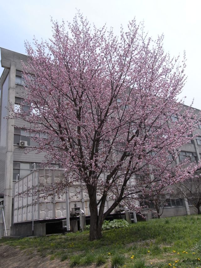 スプリング・エフェメラル in 北大_c0025115_16333668.jpg