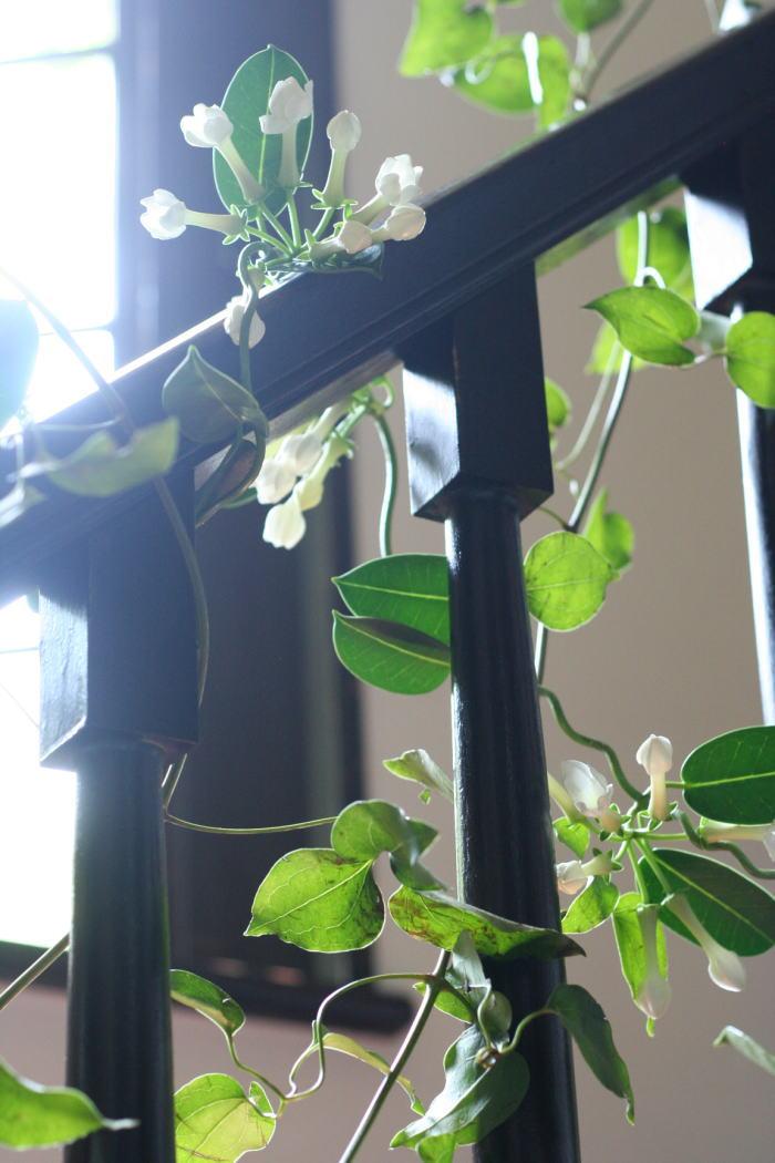 シェ松尾松濤レストラン様の装花 ジャスミン_a0042928_21234295.jpg