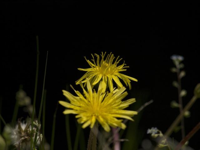 タンポポがたくさん咲いていますね。_b0148762_225623.jpg