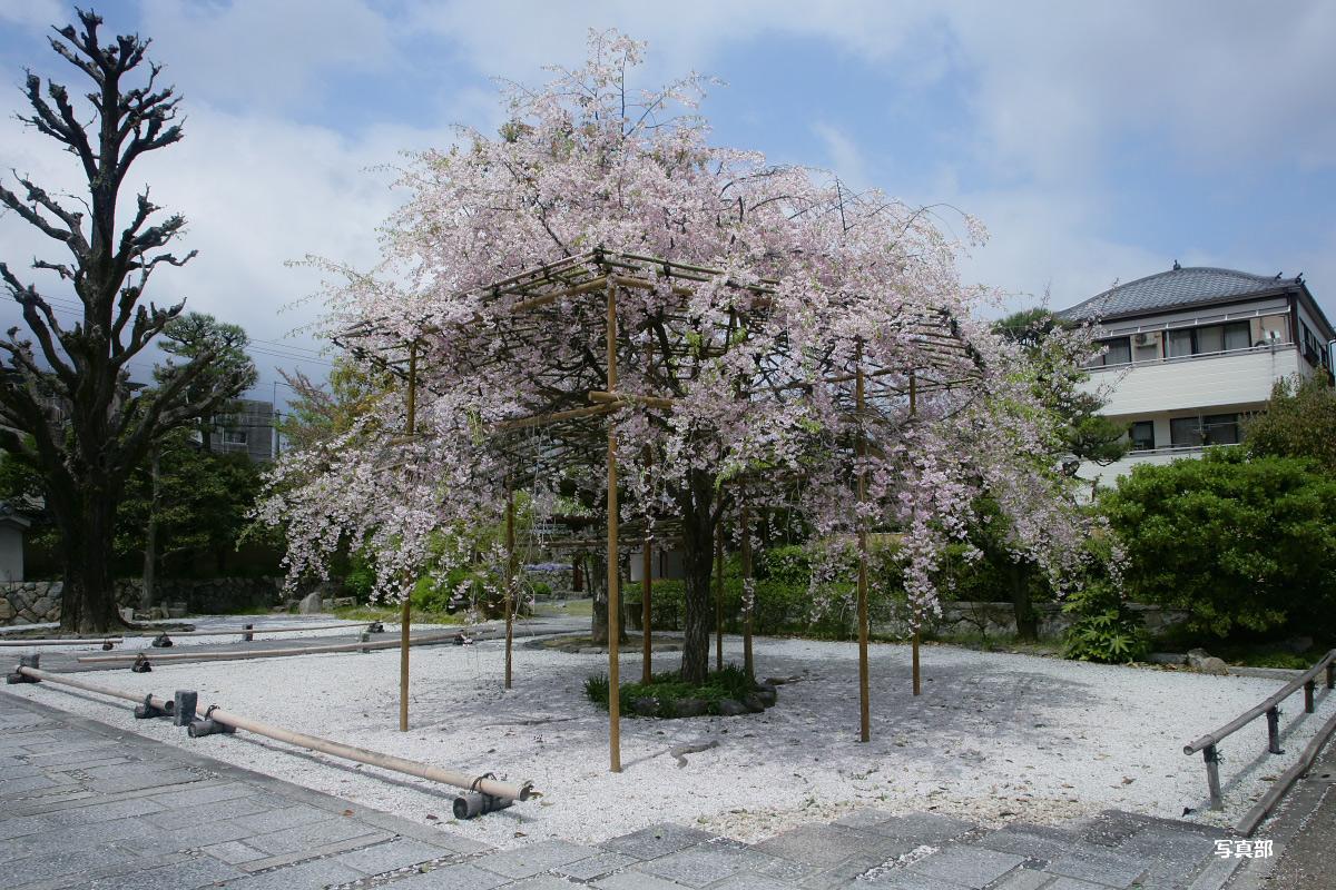 枳殻邸<きこくてい>  桜_f0021869_23223950.jpg