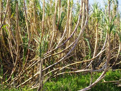 さとうきびの収穫と黒糖ができるまで_c0165185_17345266.jpg