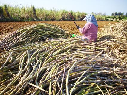 さとうきびの収穫と黒糖ができるまで_c0165185_1737171.jpg