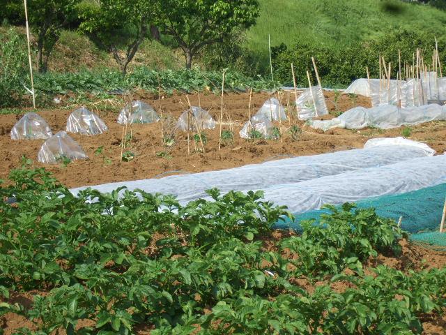 夏野菜...果実...の植え付け_b0137932_12535645.jpg