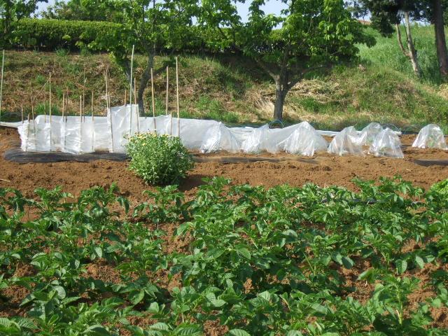 夏野菜...果実...の植え付け_b0137932_12544647.jpg