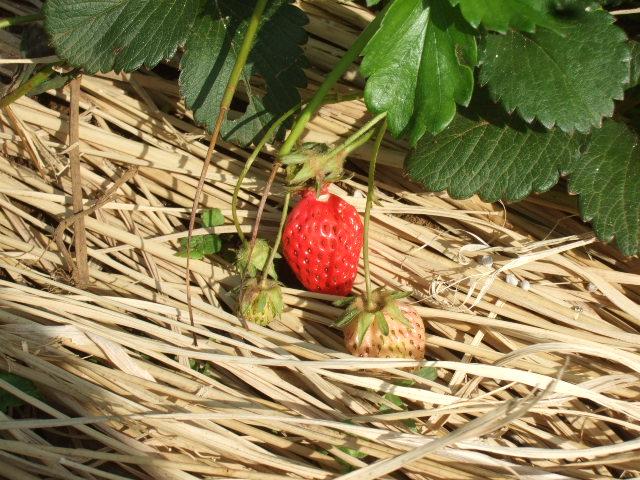 夏野菜...果実...の植え付け_b0137932_1257324.jpg