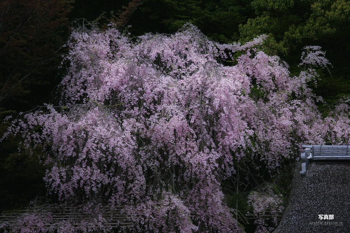 上賀茂神社 <賀茂別雷神社> 桜  2_f0021869_23234624.jpg