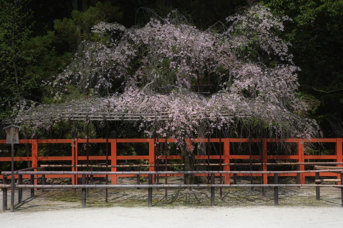 上賀茂神社 <賀茂別雷神社> 桜  2_f0021869_23255816.jpg