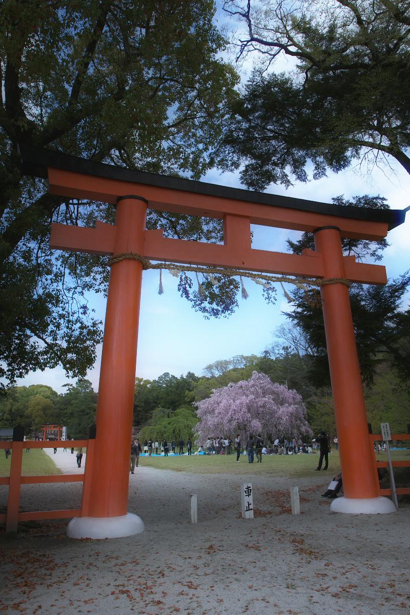 上賀茂神社 <賀茂別雷神社> 桜  2_f0021869_2327159.jpg