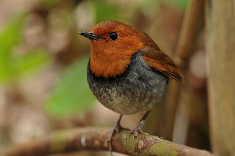 日本三鳴鳥、コマドリ&オオルリ&ウグイス_f0053272_1731946.jpg