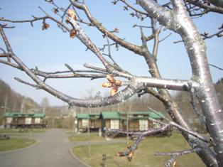 やちぶきの次は桜ですね ^^_c0163376_1517376.jpg