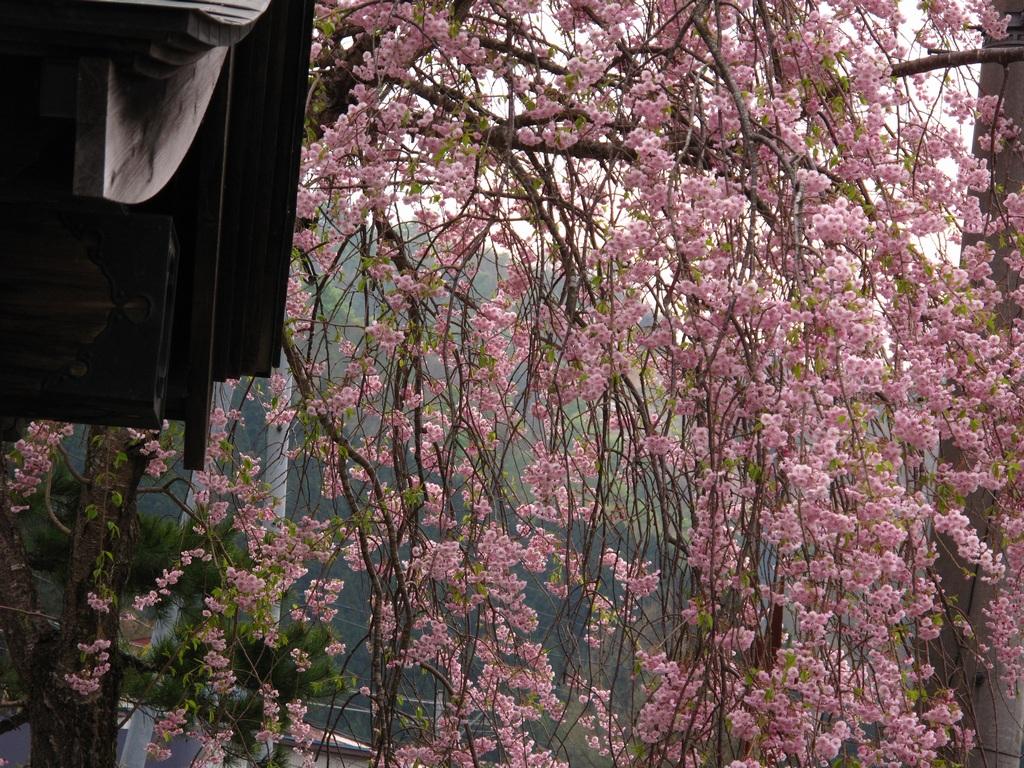 桜とウソ_f0192924_18381998.jpg