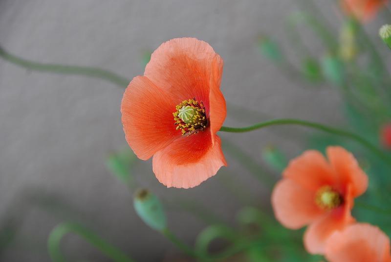 初夏の花々_c0187781_11373834.jpg