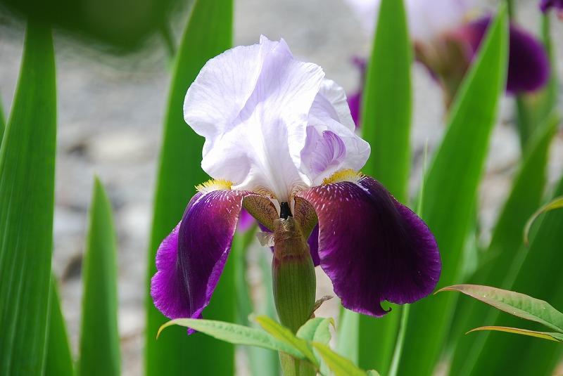初夏の花々_c0187781_1139827.jpg