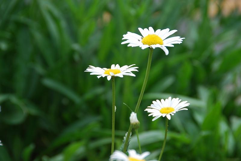 初夏の花々_c0187781_11571495.jpg