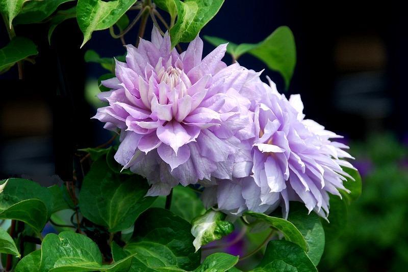 初夏の花々_c0187781_12245444.jpg