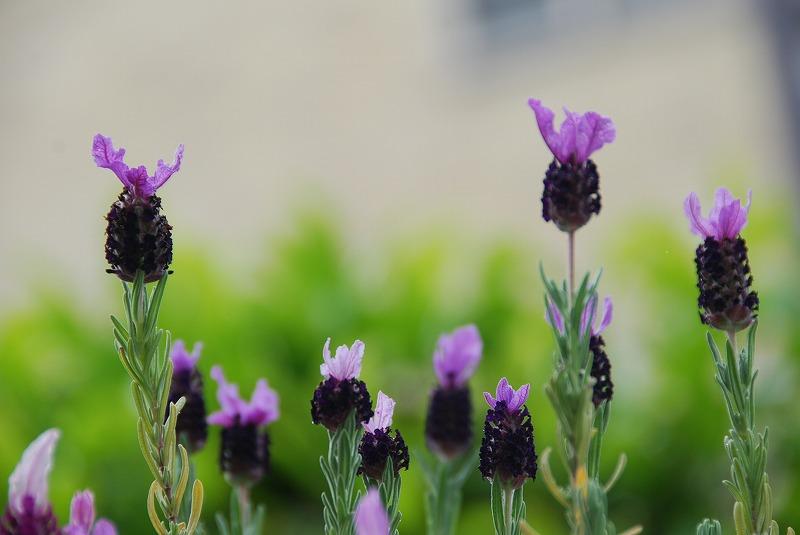 初夏の花々_c0187781_8114559.jpg