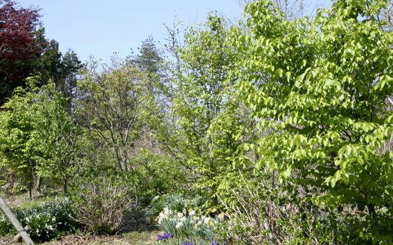 庭のブナの新緑_e0054299_9251471.jpg