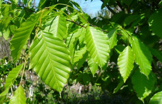 庭のブナの新緑_e0054299_9335078.jpg