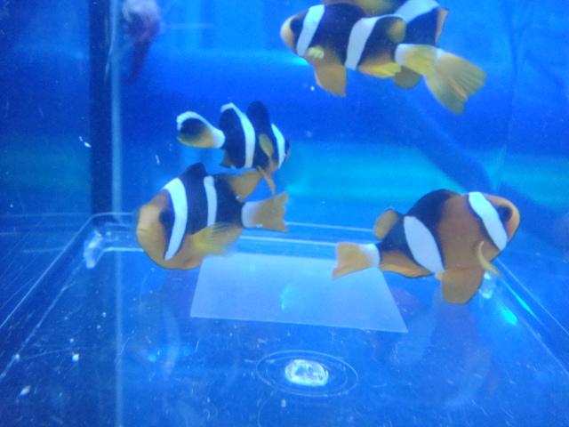 海水魚・サンゴ・水草・日本産淡水魚_f0189122_15103971.jpg