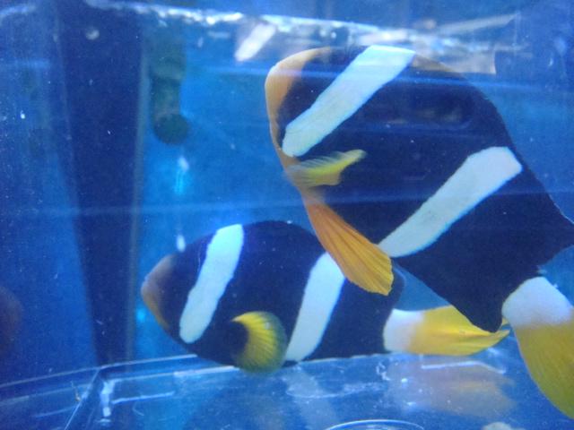 海水魚・サンゴ・水草・日本産淡水魚_f0189122_1510569.jpg