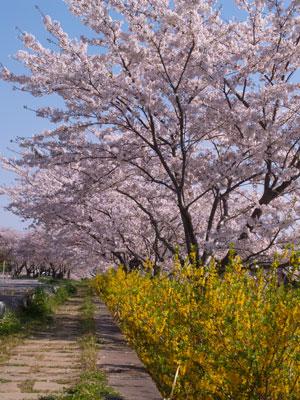 一宮川の桜~茂原市_f0047524_16582777.jpg
