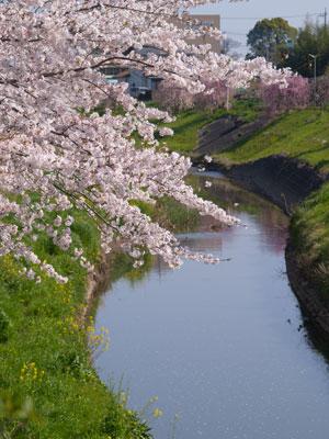 一宮川の桜~茂原市_f0047524_16592963.jpg
