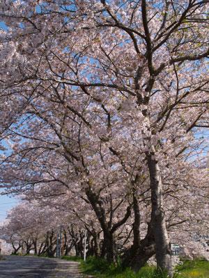一宮川の桜~茂原市_f0047524_1703245.jpg