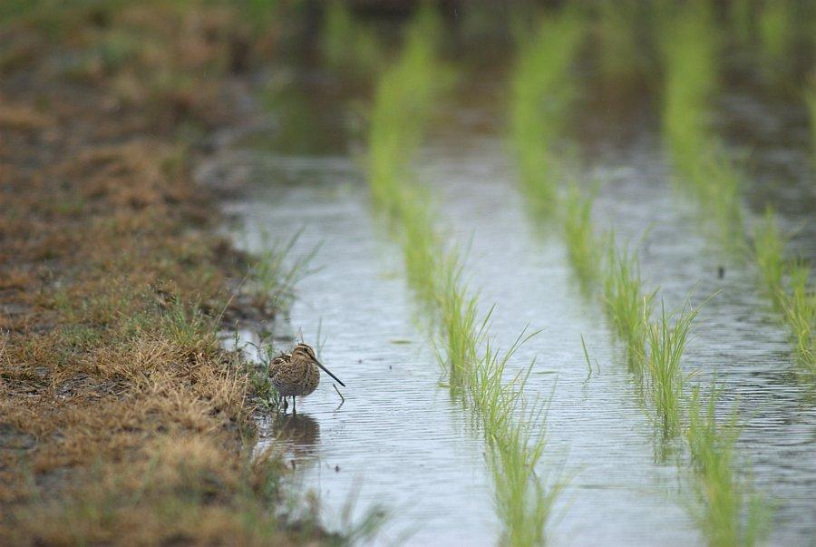 雨の田んぼ_c0001429_2149387.jpg