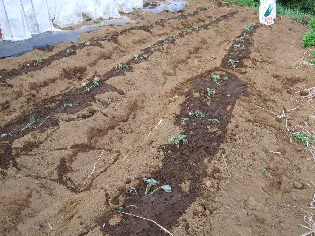 待望の雨!....野菜に恵みの雨が!!!_b0137932_1301416.jpg