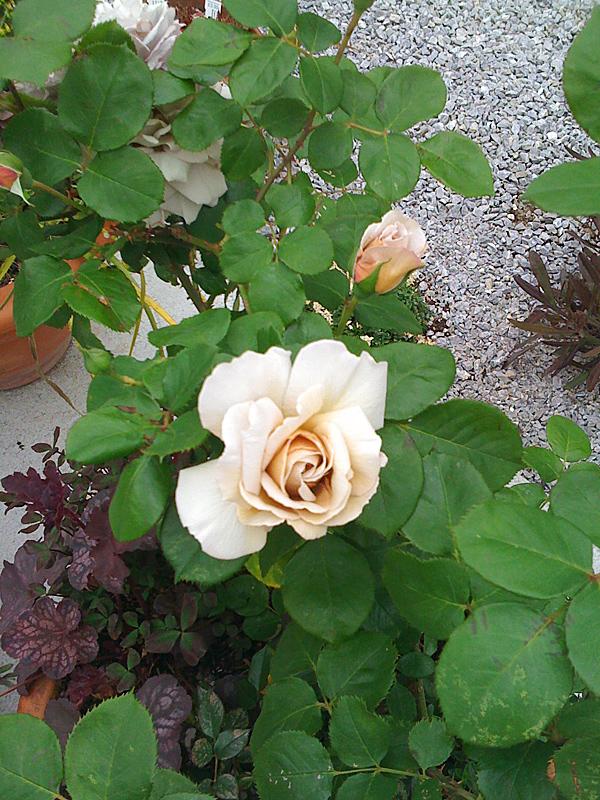 乙庭 数少ないバラ グレーパール_f0191870_2211930.jpg