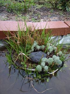 水辺の植物 ・ ビオトープ_f0059988_20402924.jpg