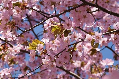 ちょっと散歩へ!モエレ公園桜満開!+焼酎呑み呑みベランダジンギスカン!_c0134029_12183971.jpg