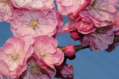 夜桜ならぬ、夜梅!平岡梅林公園堪能!_c0134029_20294457.jpg